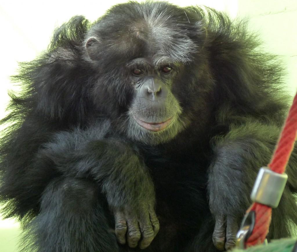 Louise Green_chimpanz